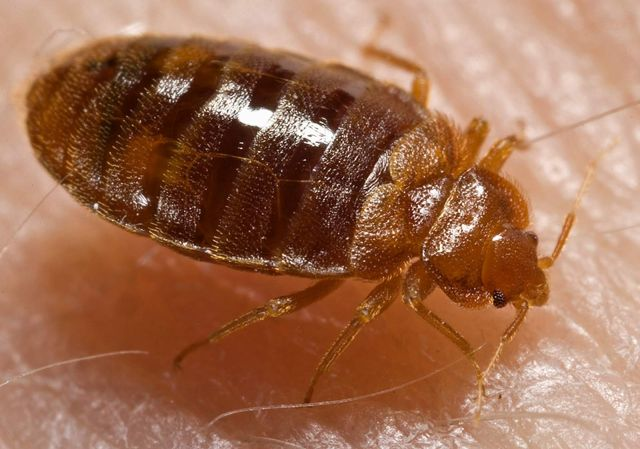 bed bugs wikipedia