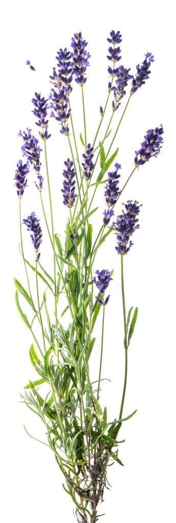 Lavender for better sleep