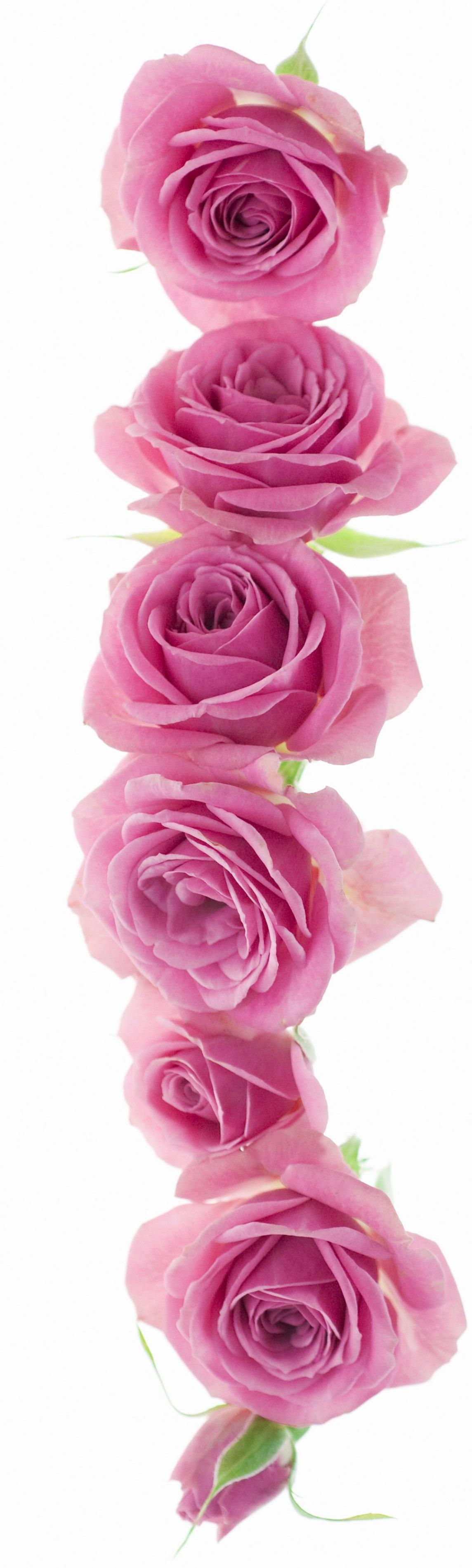 Rose vine