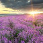 Can lavender help you sleep better? How does aromatherapy with this herb reduce stress, depression and anxiety to deliver better quality sleep?